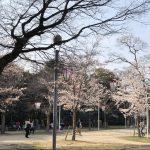 比治山・京橋川の桜