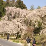 神原のしだれ桜から植物公園